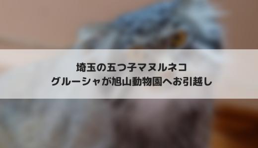こども動物自然公園のマヌルネコ グルーシャが北海道の旭山動物園へお引越し