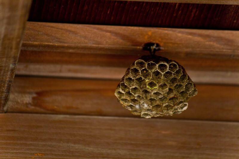 アシナガバチの巣を駆除した話